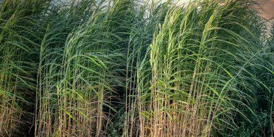 sugarcane-5525004_1920